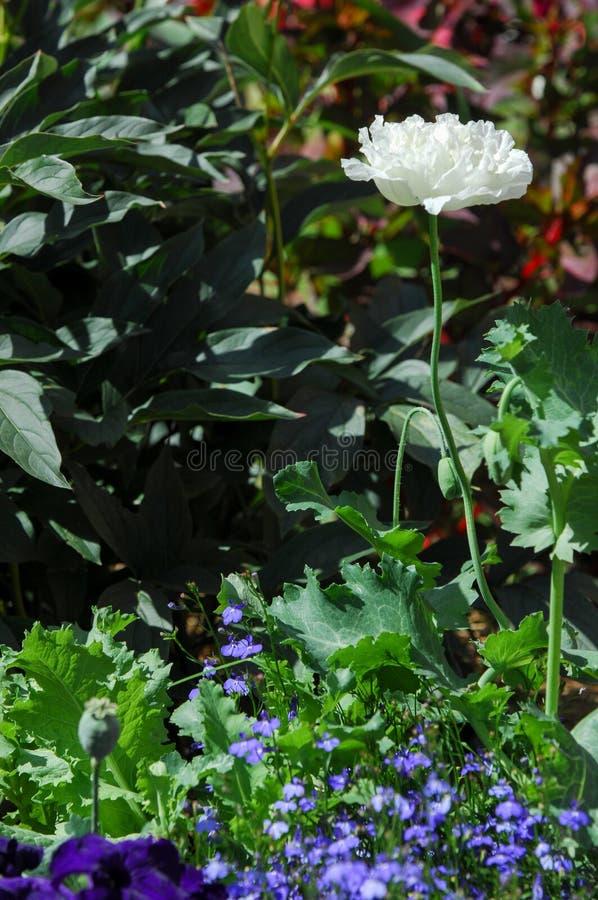 Papaver - o somniferum a papoila de ópio é uma espécie de florescer o pla imagens de stock royalty free