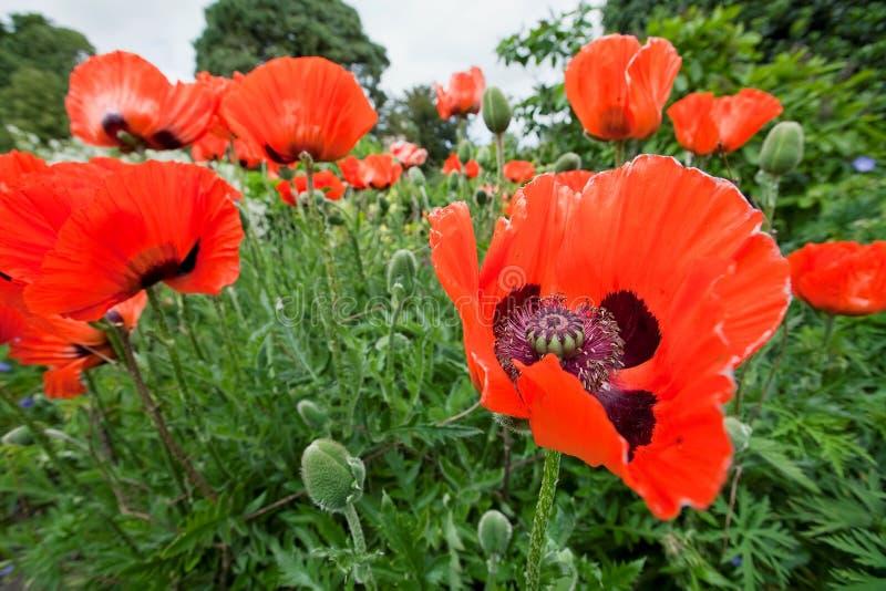 Download Papaver Orientale, Oriental Poppy Flowers Stock Photo - Image: 20597830