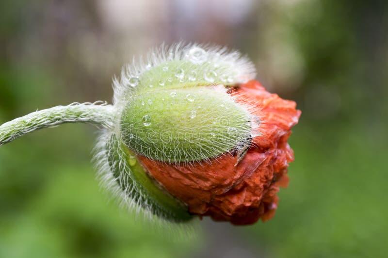 Papaver orientale, Orientalny maczek zaczyna kwitnąć fotografia royalty free