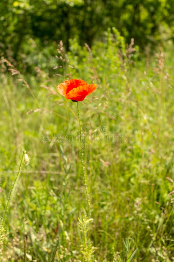 Papaver rhoeas common names include corn poppy , corn rose , field poppy , Flanders poppy , red poppy , red weed , coquelicot.  stock photo