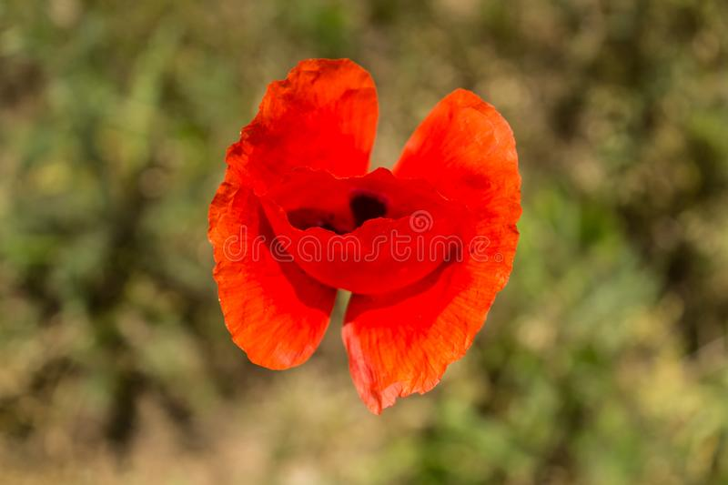 Papaver rhoeas common names include corn poppy , corn rose , field poppy , Flanders poppy , red poppy , red weed , coquelicot.  royalty free stock image