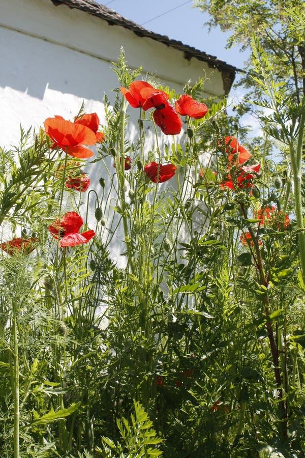Papaver rojo alto de las flores de la amapola de jardín - somniferum, en un jardín verde contra una pared blanca de la casa de ca imágenes de archivo libres de regalías