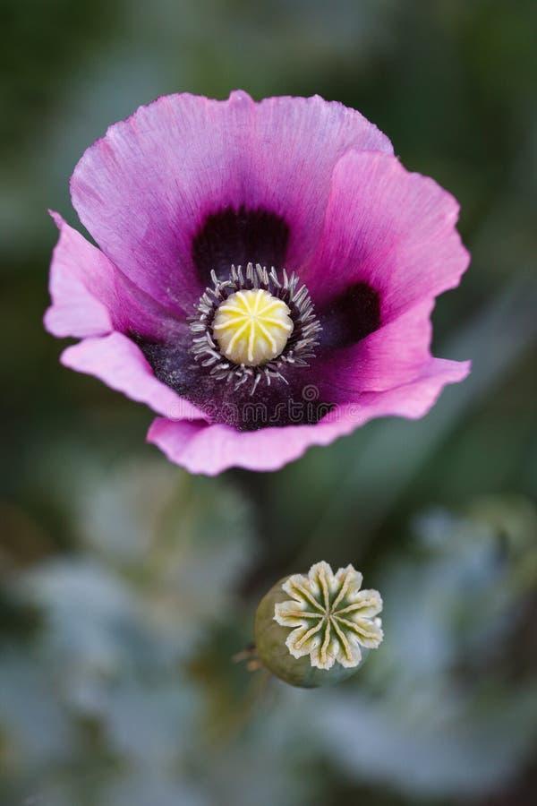Papaver - somniferum, amapola de opio, mármol-flor fotografía de archivo libre de regalías