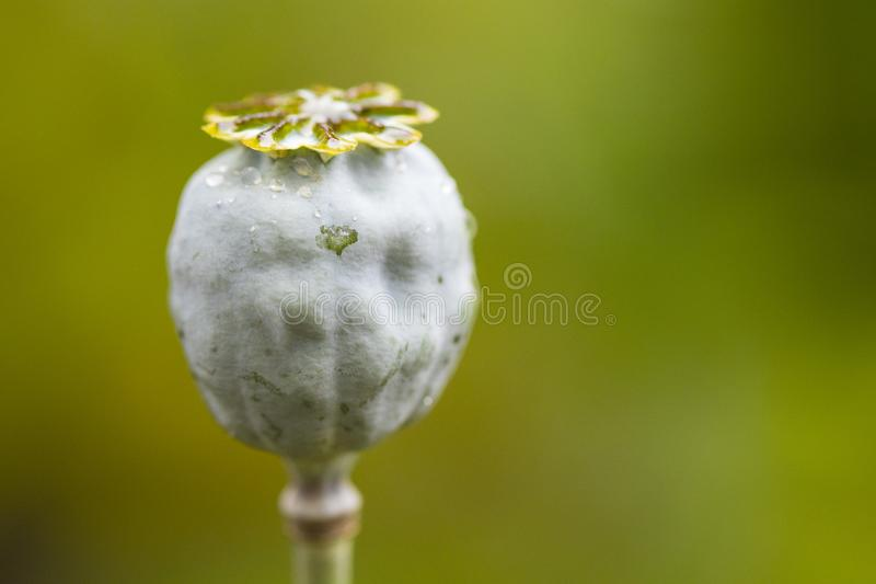 Papaver somniferum del papavero da oppio Fiore del papavero immagini stock