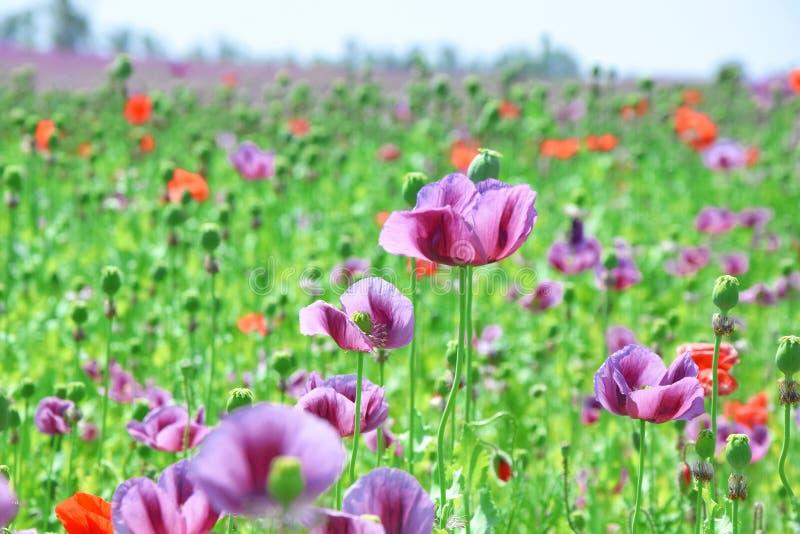 Papaver somniferum L Poppy Colorful Field Stock Photo immagine stock libera da diritti