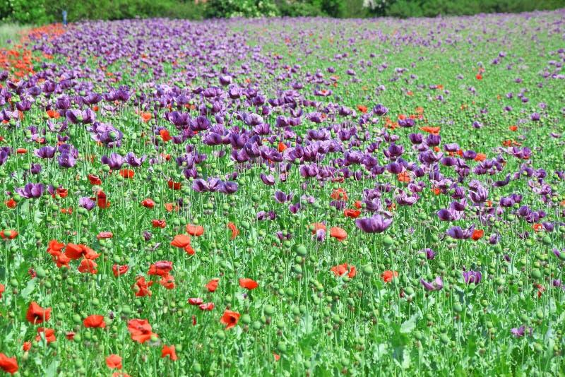 Papaver somniferum L Poppy Colorful Field Stock Photo fotografia stock libera da diritti
