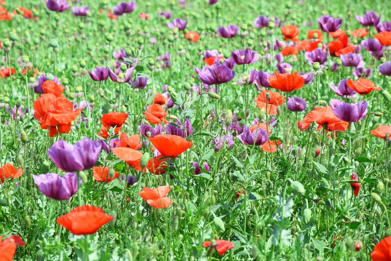 Papaver somniferum L Poppy Colorful Field Stock Photo fotografie stock
