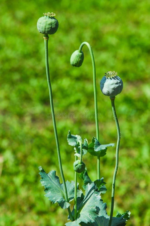 Papaver somniferum le pavot à opium est des espèces de fleurir le pla photo stock