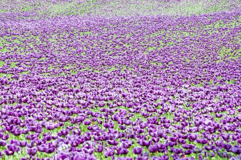 Papaver somniferum pourpre (pavot à opium) photographie stock