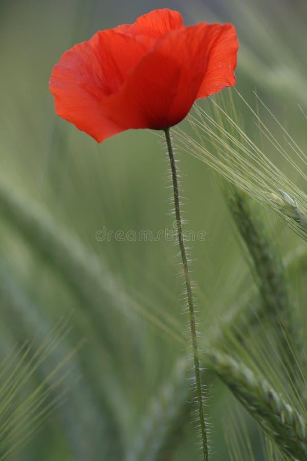 Papaverbloem van de kant op een gerstgebied royalty-vrije stock afbeelding