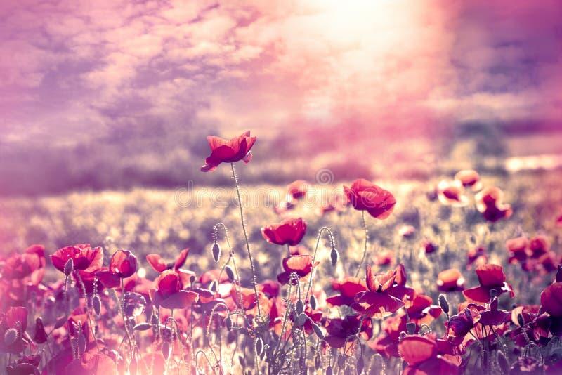 Papaverbloem in weide bij zonsondergang, mooi landschap met bloemen en hemel stock fotografie