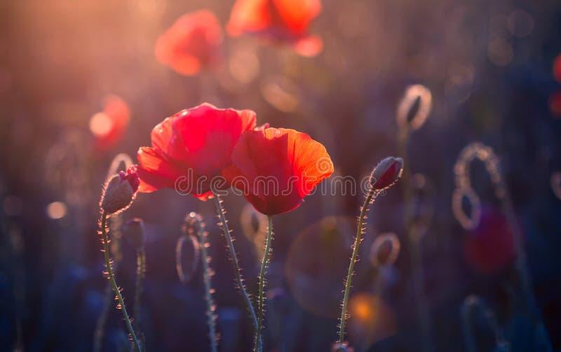 Papaverbloemen royalty-vrije stock afbeelding