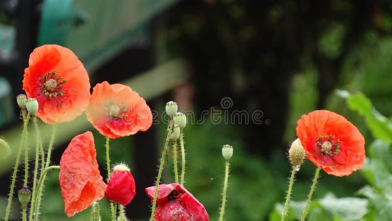 Papaverbloemen in de regen royalty-vrije stock fotografie