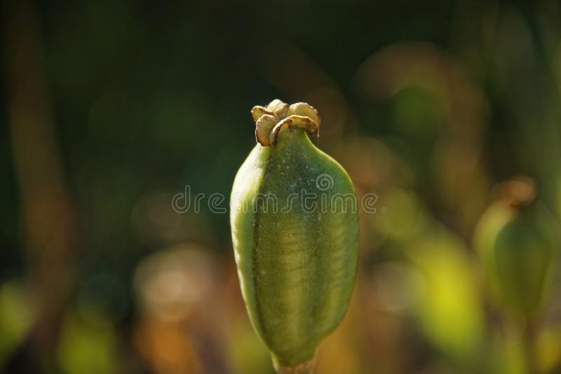 Papaverdoos in de tuin zonder bloemblaadjes royalty-vrije stock afbeelding