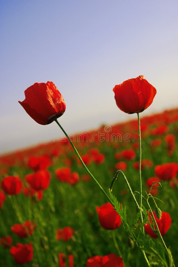 Papaveri #3 del fiore fotografia stock libera da diritti
