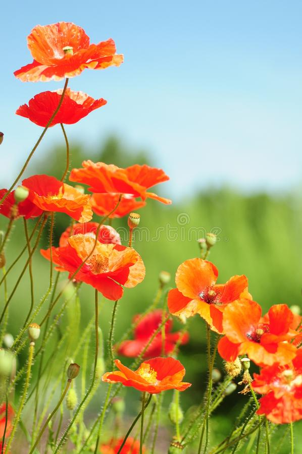 Papaveri arancioni immagine stock