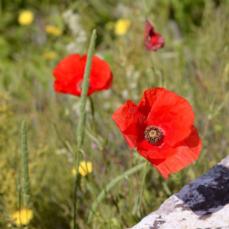 """Papaveri che fioriscono lungo il bordo della strada in Val d """"Orcia Toscana fotografia stock"""