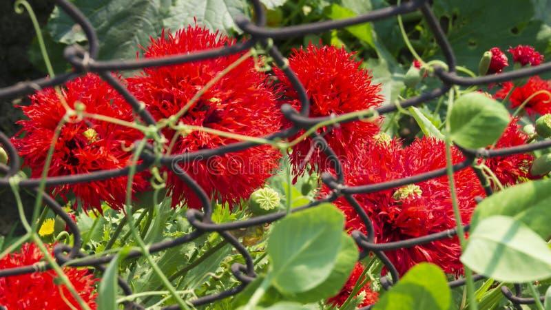 Papaveri decorativi rossi nel giardino di estate immagine stock libera da diritti