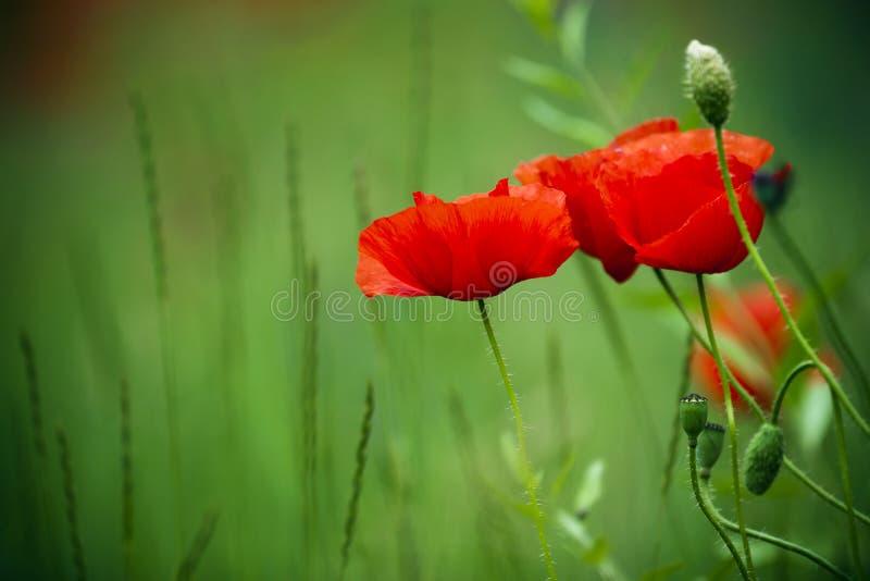 Papaveri di fioritura nel campo. immagine stock