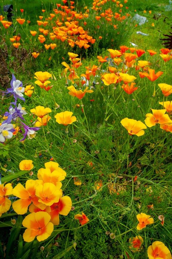 Papaveri dorati di California e colombine blu e bianche fotografia stock libera da diritti