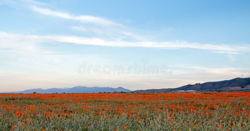PAPAVERI DORATI DI CALIFORNIA NELL'ALTO CAMPO DEL DESERTO FRA PALMDALE LANCASTER E LA COLLINA DEL QUARZO IN CALIFORNIA DEL SUD U. immagine stock