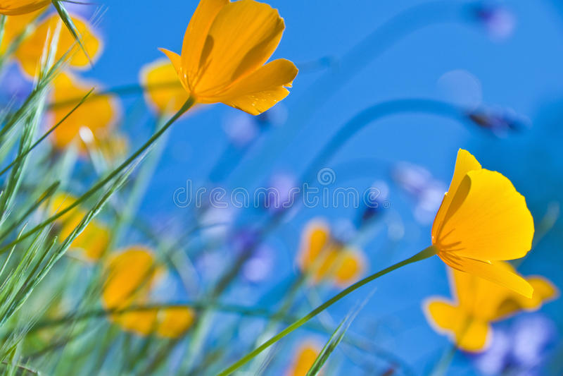 Papaveri e cielo blu di California fotografia stock libera da diritti
