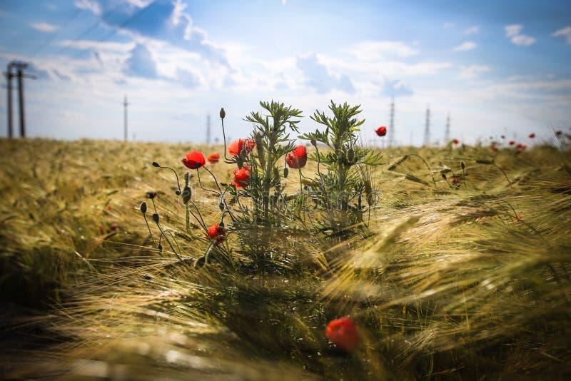Papaveri nel giacimento di grano dorato fotografia stock libera da diritti