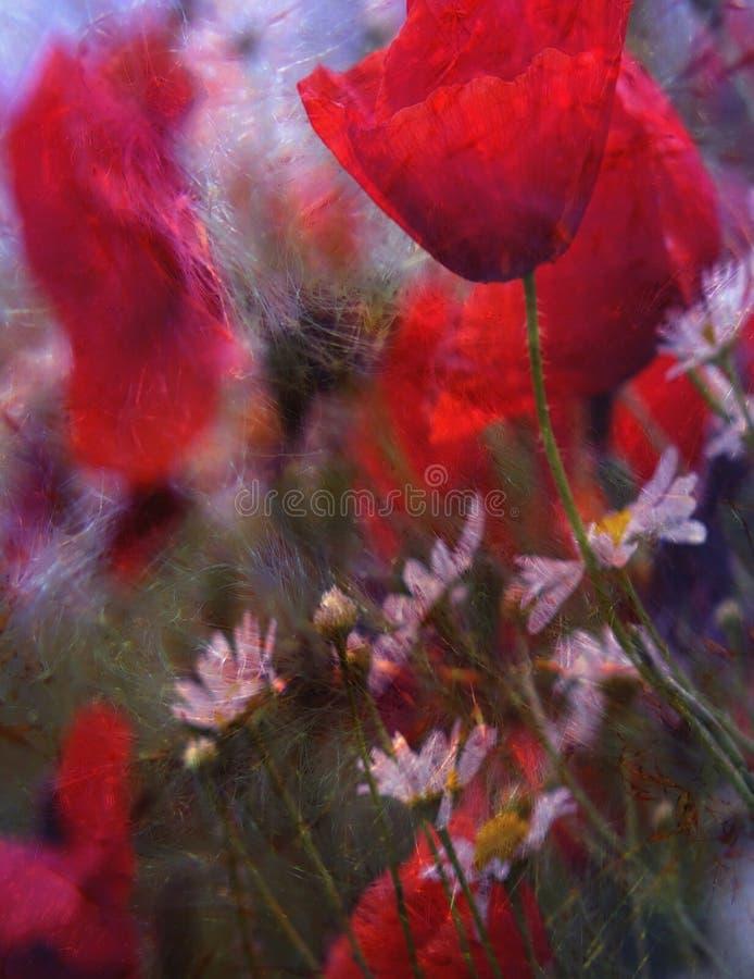 Papaveri rossi e margherite bianche fotografia stock