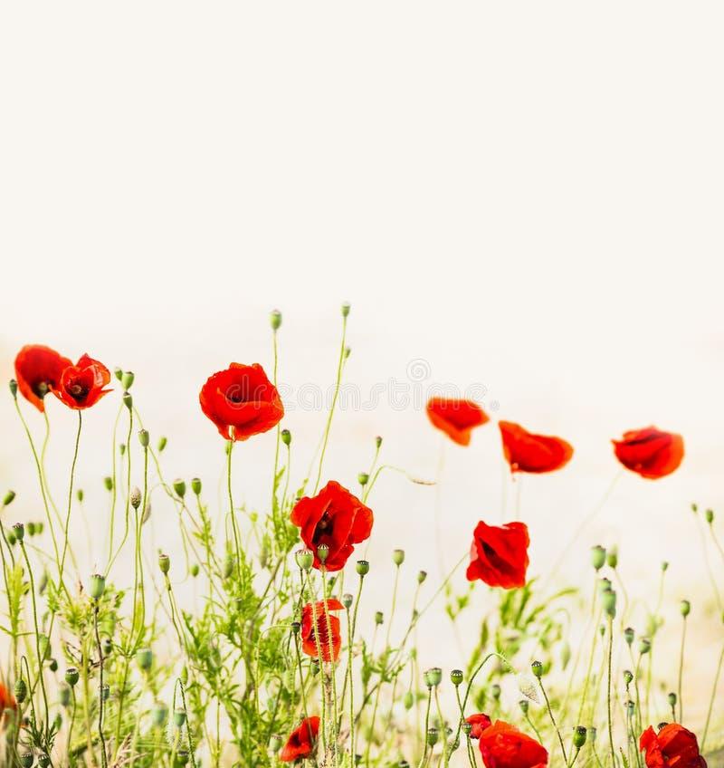 Papaveri rossi, fondo floreale all'aperto della natura fotografia stock libera da diritti