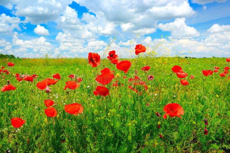 Papaveri selvatici dei fiori delicati luminosi sul prato della molla immagine stock