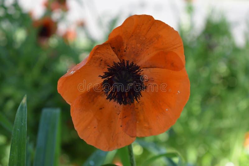 Papavero arancio con polline nero sui pedali immagini stock