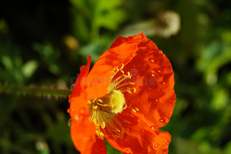Papavero arancione bagnato fotografia stock