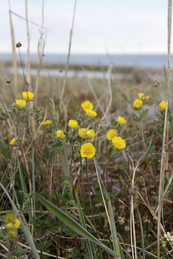 Papavero artico che cresce sulla tundra, Nunavut centrale, Canada artico fotografia stock