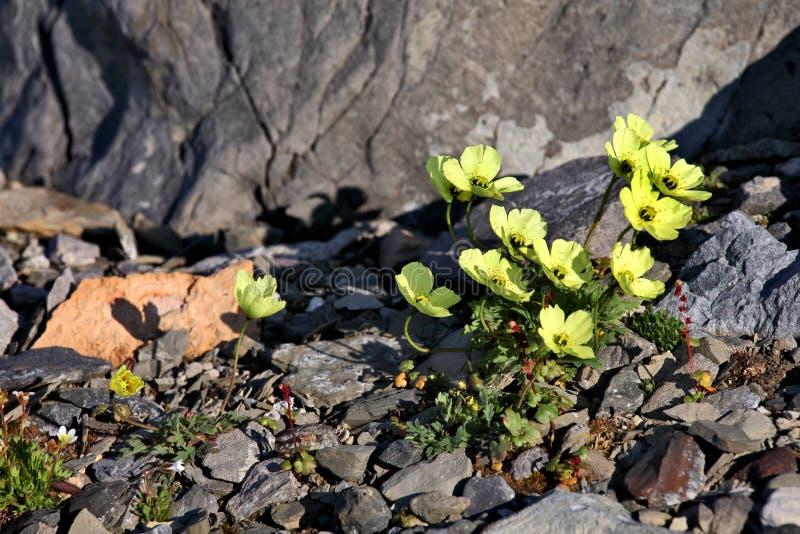Papavero artico in fiore fotografia stock