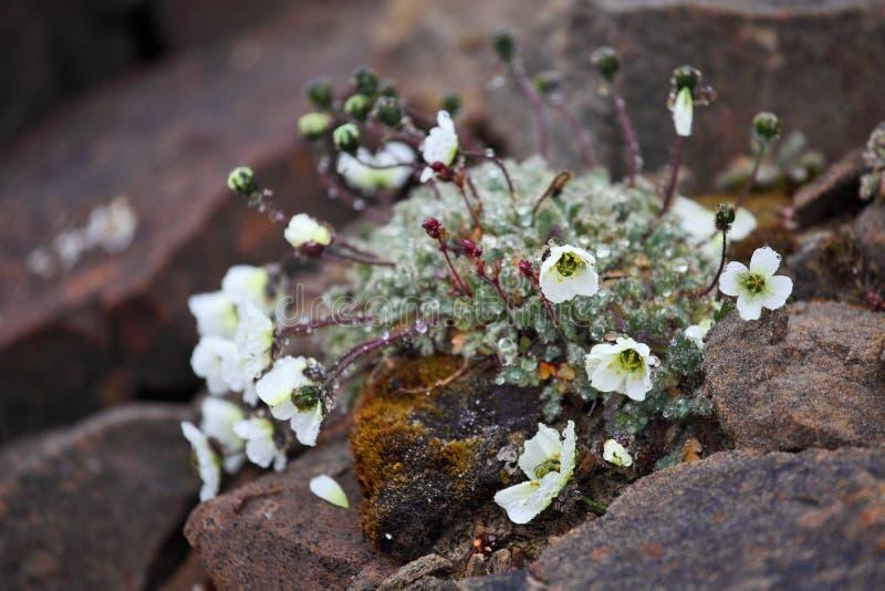 Papavero artico (radicatum del papavero) immagini stock libere da diritti