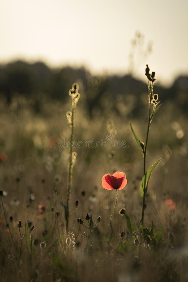 Papavero che prende l'ultima luce dorata nel paesaggio del giacimento di fiore fotografia stock libera da diritti