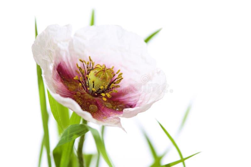 Papavero con erba isolata su bianco, su gocce di acqua e su poco spide immagini stock libere da diritti