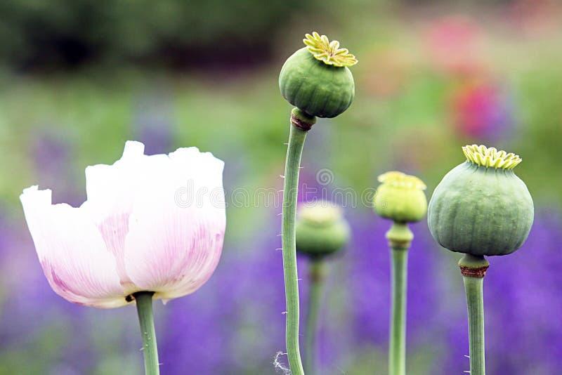 Papavero da oppio che fiorisce pianta ornamentale immagini stock