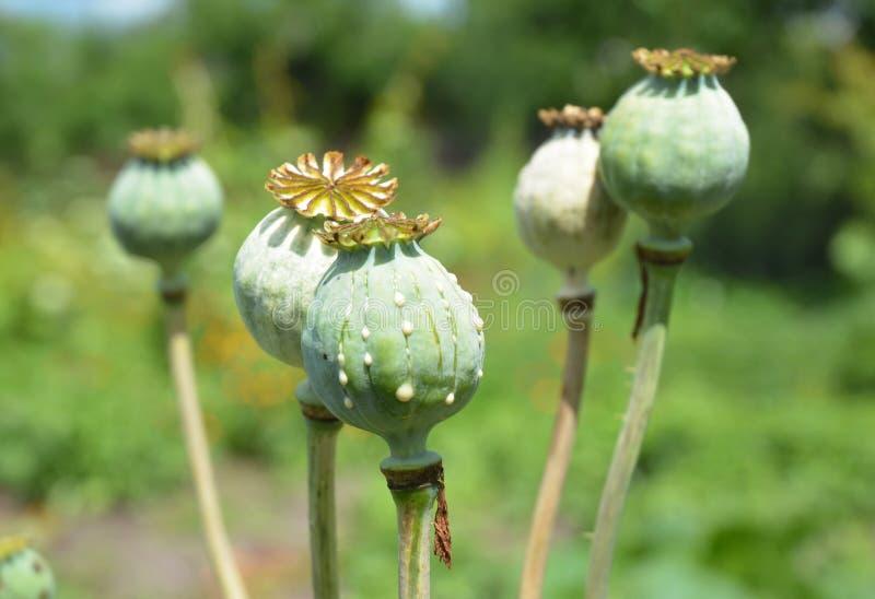 Papavero da oppio Chiuda su sul papaver somniferum, la coltivazione del papavero da oppio fotografie stock