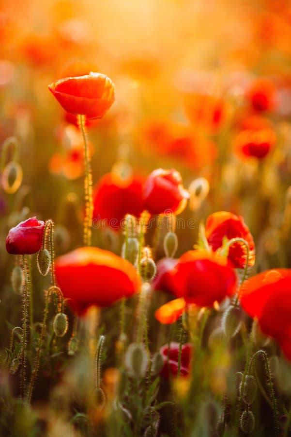 Papavero del fiore che fiorisce sui fiori dei papaveri del fondo fotografie stock libere da diritti