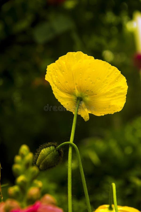 Papavero di cereale giallo fotografia stock libera da diritti