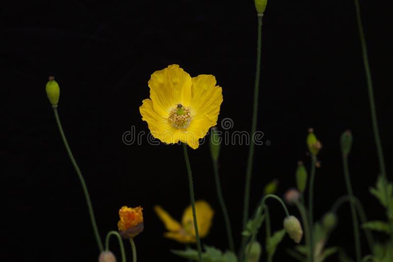 Download Papavero Di Lingua Gallese Giallo Fotografia Stock - Immagine di pianta, bello: 117975332