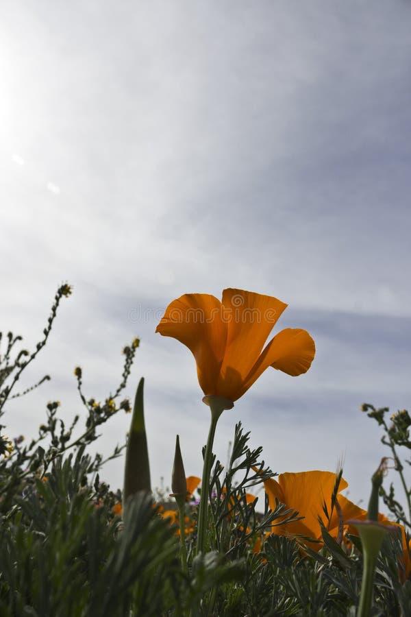 Papavero dorato soleggiato di California fotografia stock