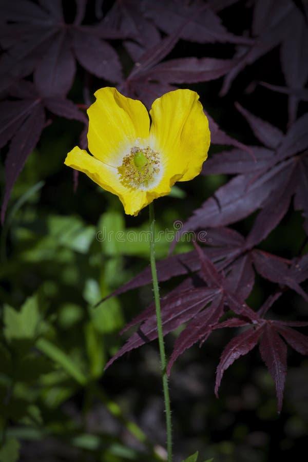 Download Papavero E Acer Di Lingua Gallese Gialli Fotografia Stock - Immagine di yellow, floreale: 117975350