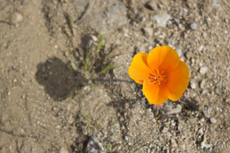 Papavero ed ombra dorati di California immagini stock