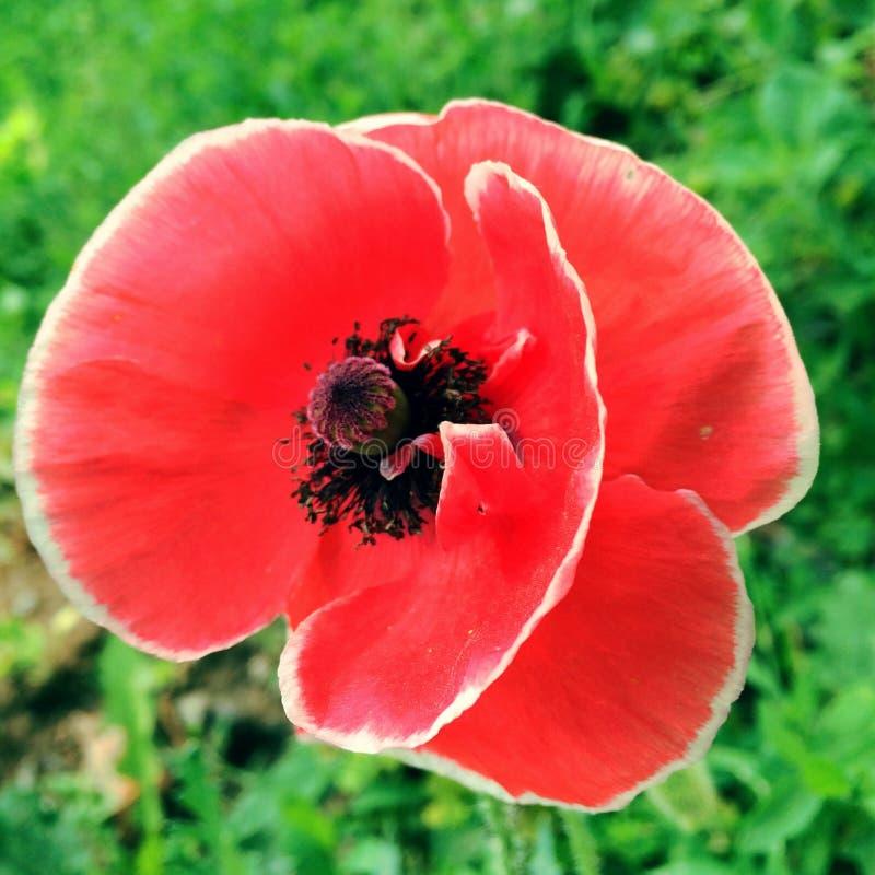 Papavero rosso fotografie stock libere da diritti
