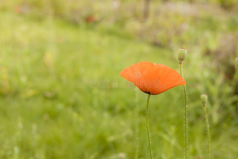 Papavero rosso che fiorisce sul fondo verde della natura Immagine morbida delicata aerata di arte Fuoco selettivo immagine stock libera da diritti