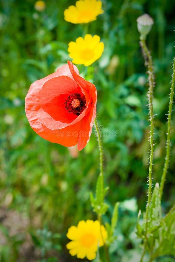 Papavero rosso e ranuncoli gialli fotografia stock