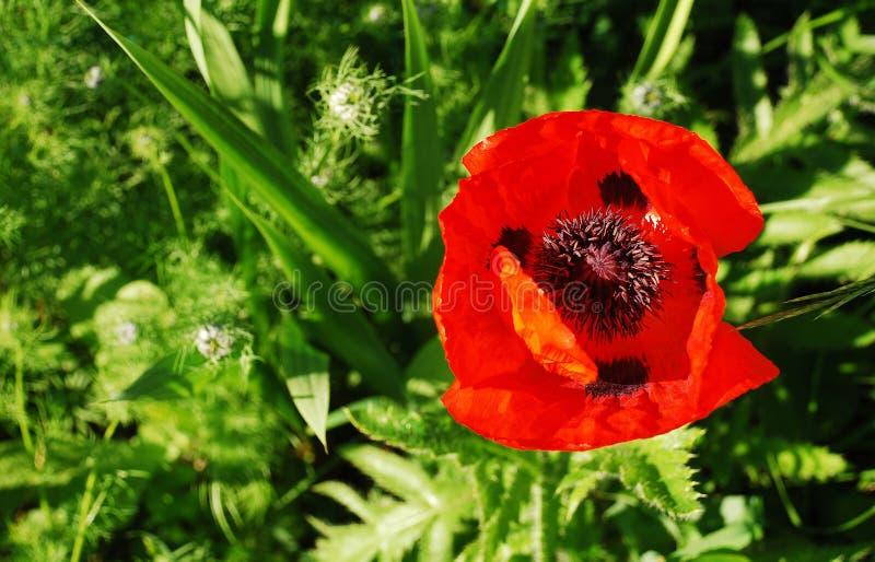 Papavero rosso gigante con le erbe del fondo fotografia stock