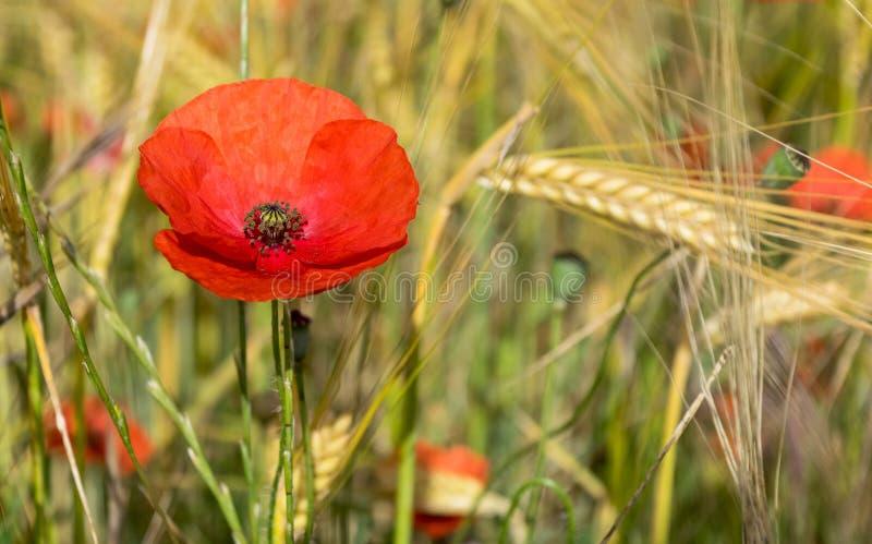Papavero rosso nel campo verde immagini stock